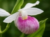 lady-slipper-315x210
