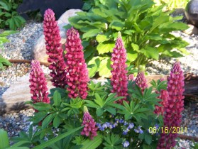 Lupine Flowers at Royal Starrr Resort