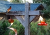 Hummers at feeder