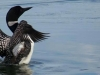 Loons Return Every Spring